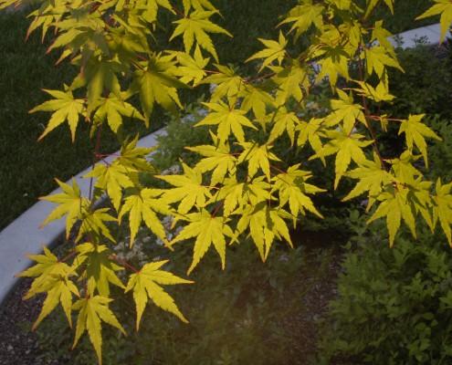 lit leaf tree landscape lighting